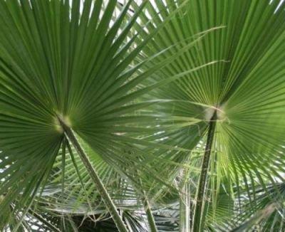 Washingtonie vláknitá (palma: Washingtonia filifera) semínka palmy 7ks