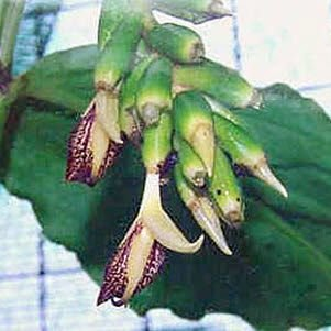 Zázvor okrasný (rostlina: Zingiber clarkeii) - 5 semen