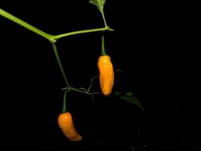 Chilli Cascabella (rostlina: capsicum) – semena chilli 7 ks