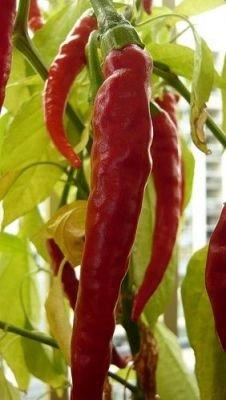 Chilli Gunter Hope (rostlina: capsicum) – semena chilli 7 ks