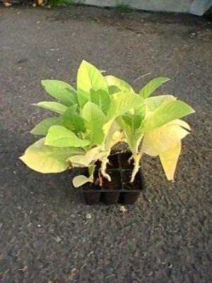 Tabák VA 509 Virginia Burley (rostlina: Nicotiana tabacum) cca 25 semen
