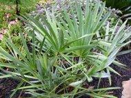 Serenoa plazivá (rostlina: Serenoa repens)   semínka