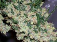 Mr. Nice seeds - Afghan Skunk x Afghan Haze (ASH) 18 ks